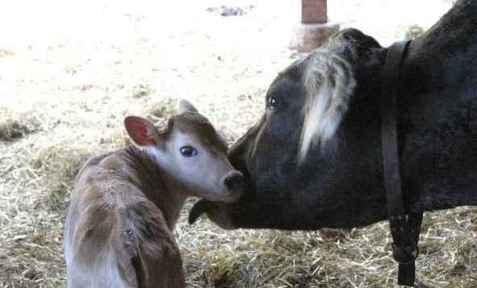 cow_mother-and-baby1